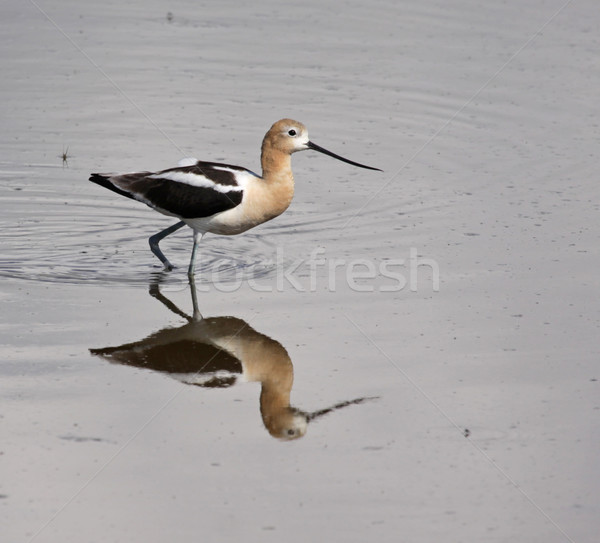 Hunting American Avocet