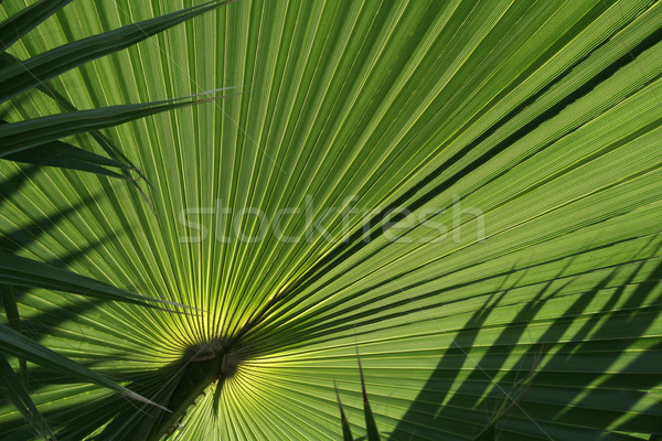 Palm Leaf Abstract Stock photo © ca2hill