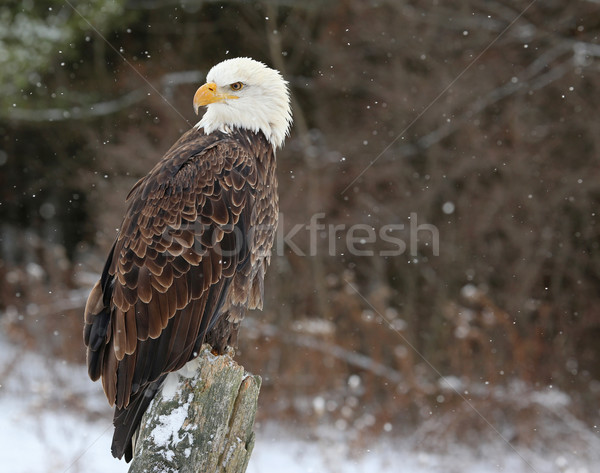Bald Eagle Looking Back Stock photo © ca2hill