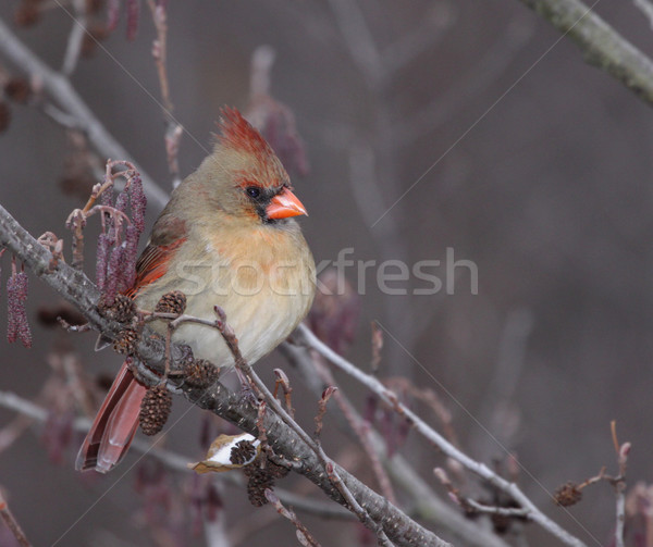 Perched Female Cardinal Stock photo © ca2hill