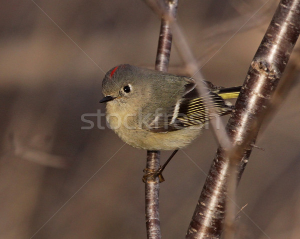 Male Ruby-crowned Kinglet Stock photo © ca2hill