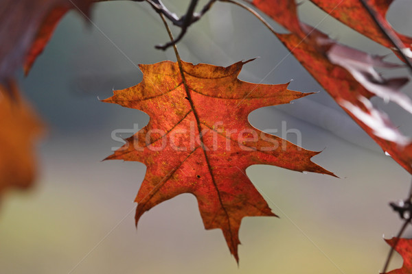 Oak Tree Fall Leaf