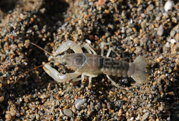 Scurrying Crayfish Stock photo © ca2hill