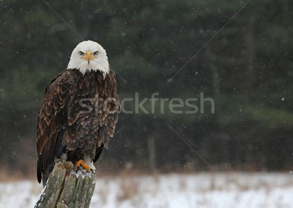 Chauve aigle regarder poupe post directement Photo stock © ca2hill