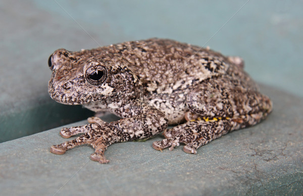Grey Tree Frog Stock photo © ca2hill