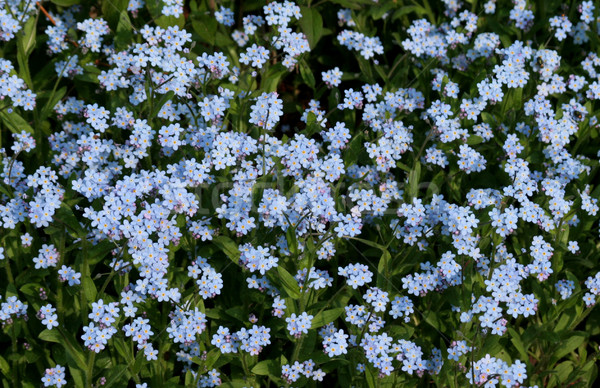 Forget-Me-Nots Stock photo © ca2hill