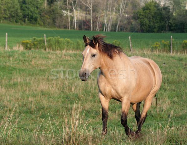 Spacer konia twarz konie kraju łące Zdjęcia stock © ca2hill