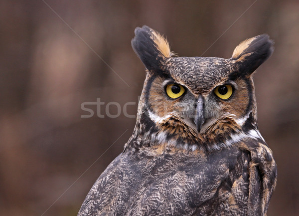 Great Horned Owl Ears Stock photo © ca2hill