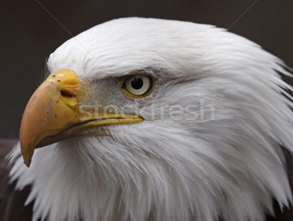 Popa careca Águia cara pássaro Estados Unidos Foto stock © ca2hill