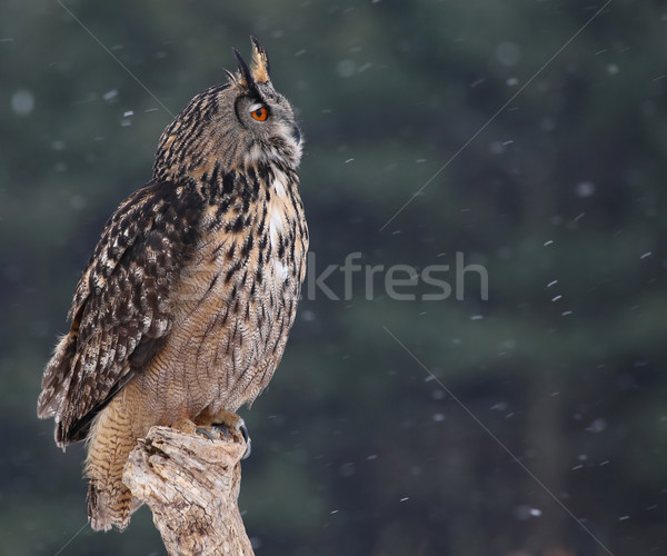Regarder eagle owl séance neige relevant yeux Photo stock © ca2hill