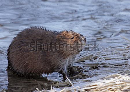 Muskrat on Shore Stock photo © ca2hill