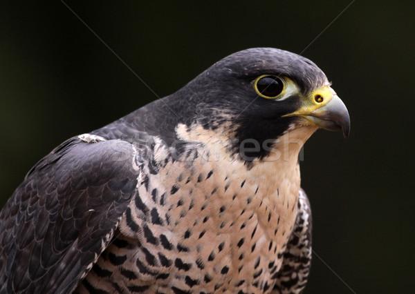 Peregrine Falcon Face Stock photo © ca2hill