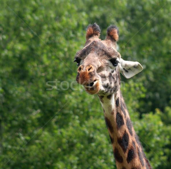 Chewing Giraffe