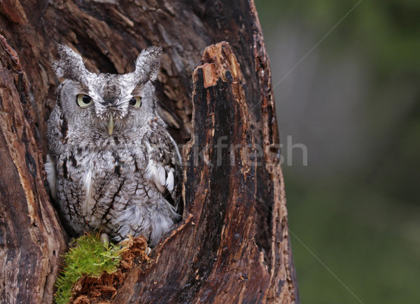 Screech Owl Looking from Stump Stock photo © ca2hill