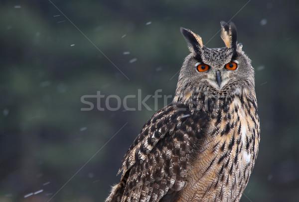 Stockfoto: Portret · oehoe · vergadering · sneeuw · vallen · ogen