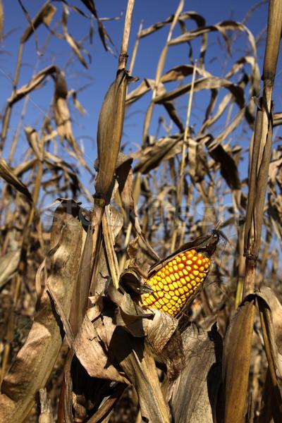 Autumn Corn Field Stock photo © ca2hill