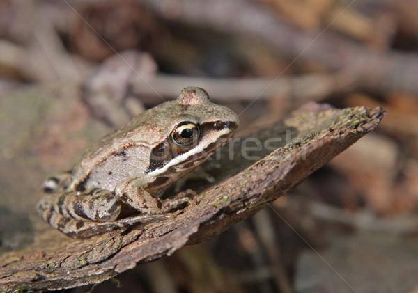 Bois grenouille séance étage forêt Photo stock © ca2hill