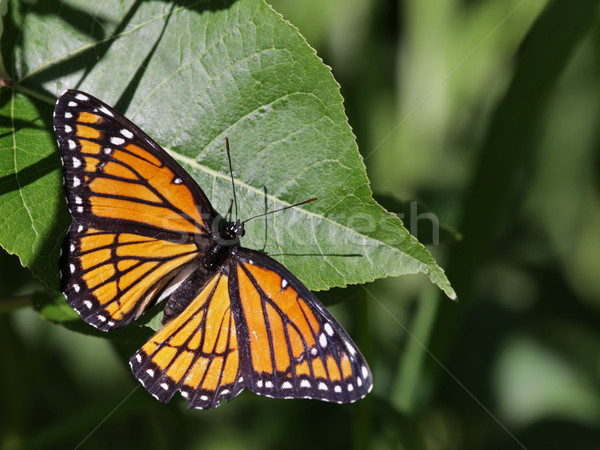 Viceroy Butterfly Stock photo © ca2hill