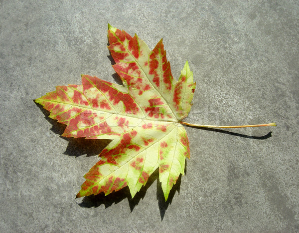 Wild Autumn Maple Leaf