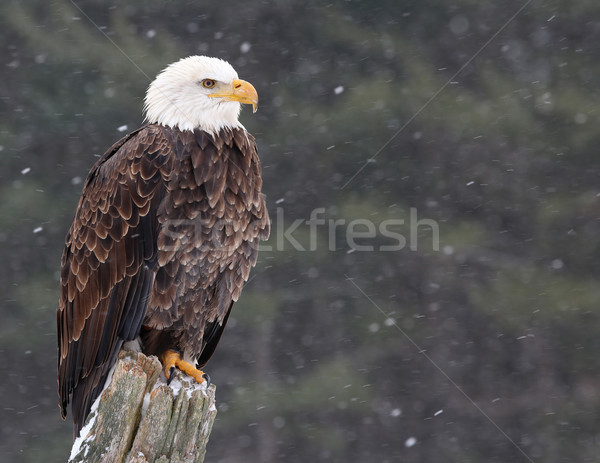 Eagle on a Post Stock photo © ca2hill