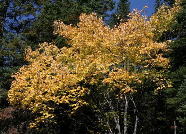 Yellow Fall Maple Tree Stock photo © ca2hill