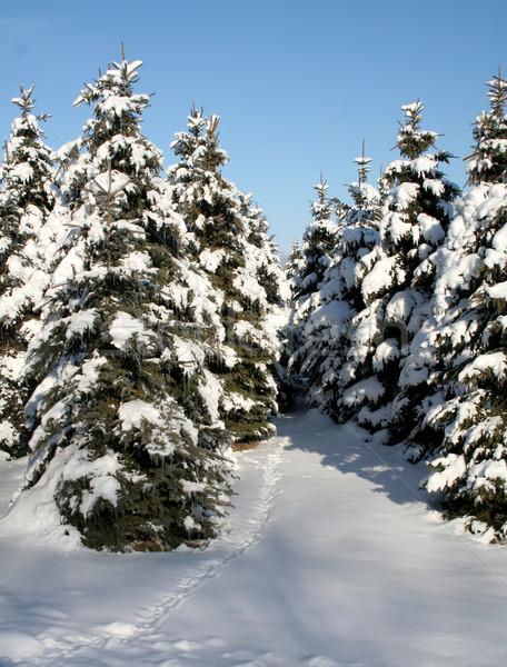 Snowy Evergreen Path Stock photo © ca2hill