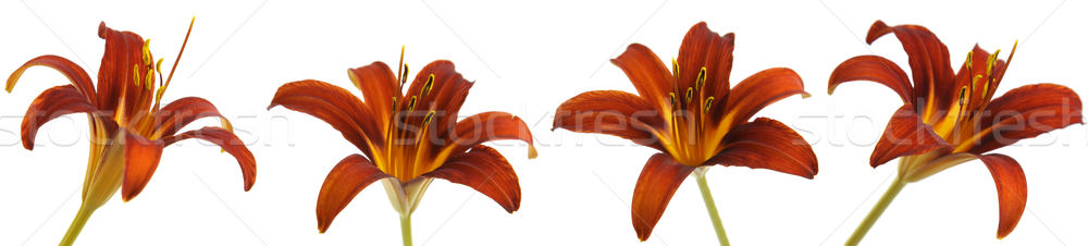 Rouge Lily multiple orange isolé blanche Photo stock © ca2hill