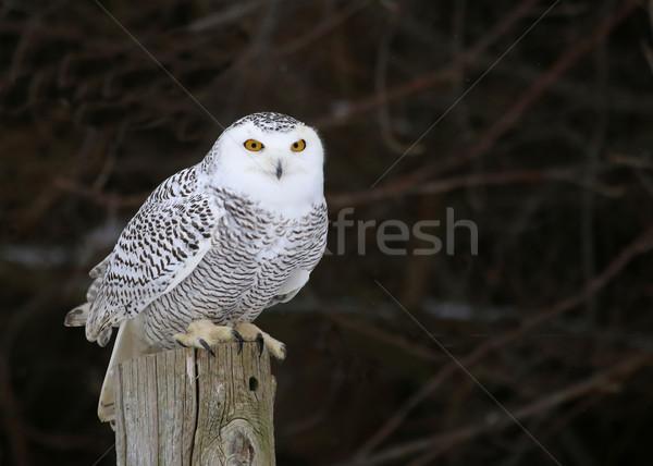 Stationary Snowy Owl Stock photo © ca2hill