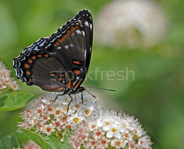 Feeding Red-spotted Purple butterfly Stock photo © ca2hill