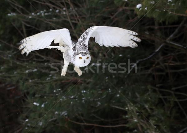 Snowy Owl Taking Flight Stock photo © ca2hill