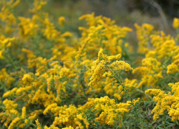 Golden Rod Patch Stock photo © ca2hill