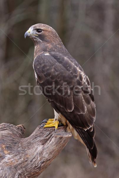 Sesión halcón cara naturaleza aves perfil Foto stock © ca2hill