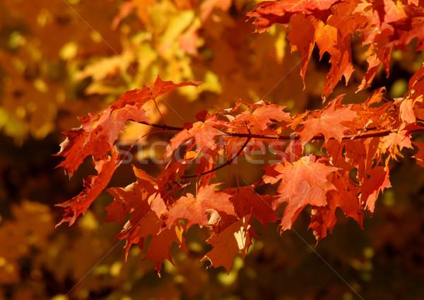 Narancs ősz cukor juhar ág levelek Stock fotó © ca2hill