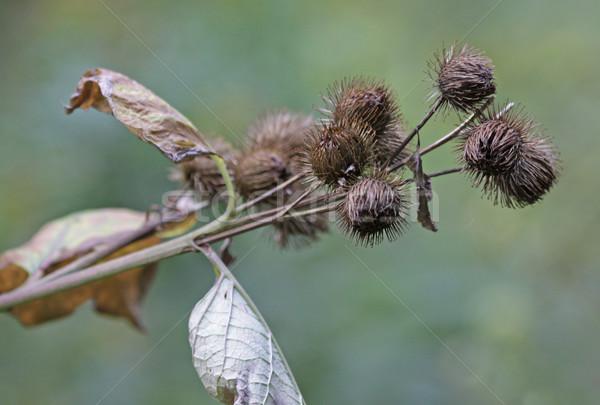 Bur Plant Stock photo © ca2hill