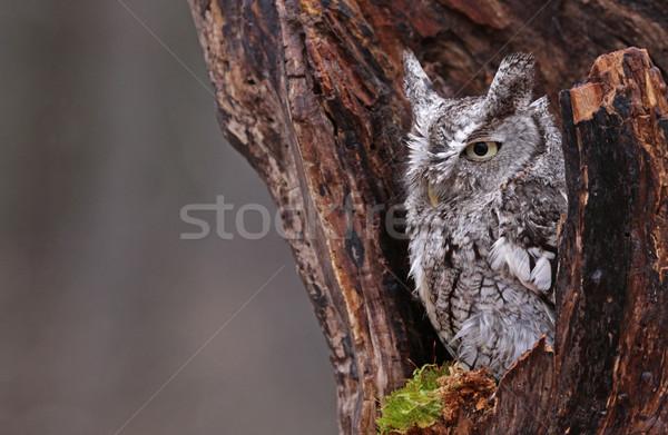 Sleepy Screech Owl Stock photo © ca2hill