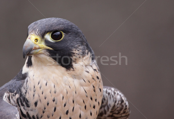 Peregrine Profile