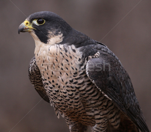 Peregrine Falcon Portrait Stock photo © ca2hill