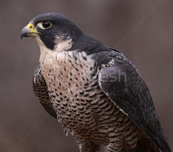 Falcon ritratto uccelli animali mondo natura Foto d'archivio © ca2hill
