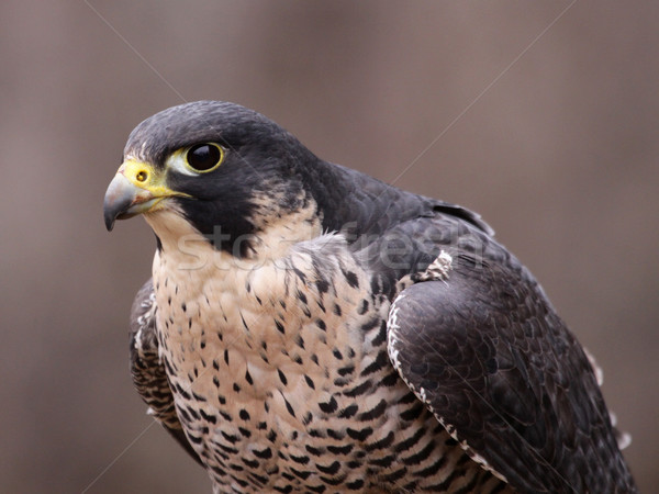 Focused Peregrine Falcon Stock photo © ca2hill