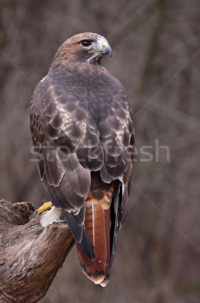 Halcón sesión cara naturaleza aves Foto stock © ca2hill