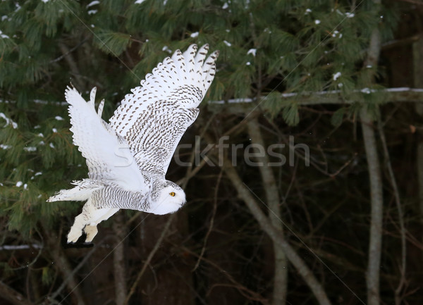 Flying Snowy Owl Stock photo © ca2hill