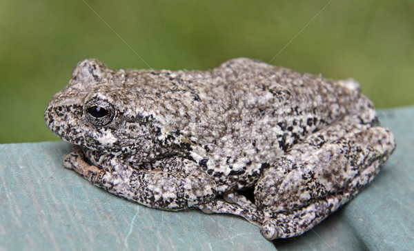Sitting Tree Frog Stock photo © ca2hill