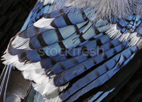 Blue Jay Feathers Stock photo © ca2hill