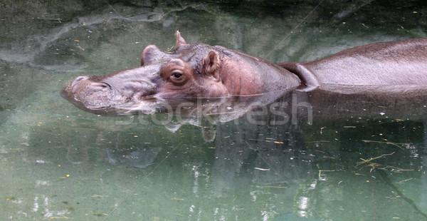 Hippo Reflection Stock photo © ca2hill