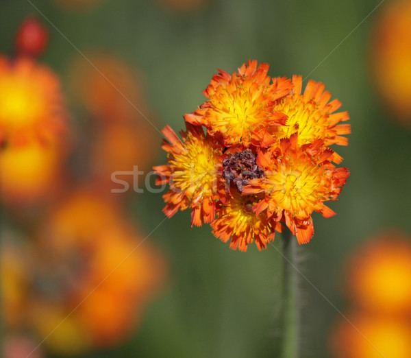 Orange Hawkweed Bud Stock photo © ca2hill