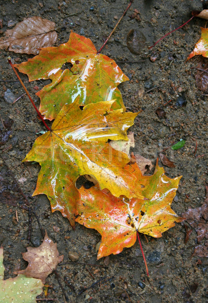 Wet Autumn Maple Leaves