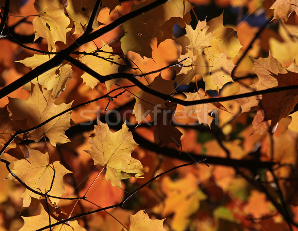 Maple Leaf Autumn Canopy