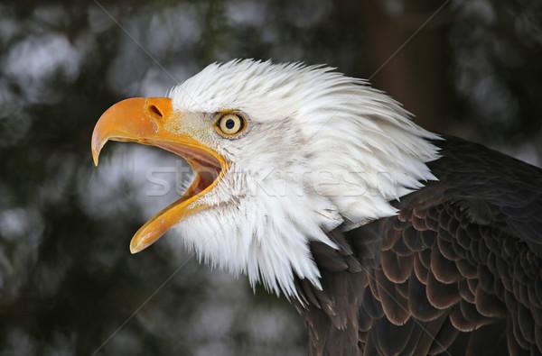 Kopasz sas madár Egyesült Államok Amerika természet Stock fotó © ca2hill