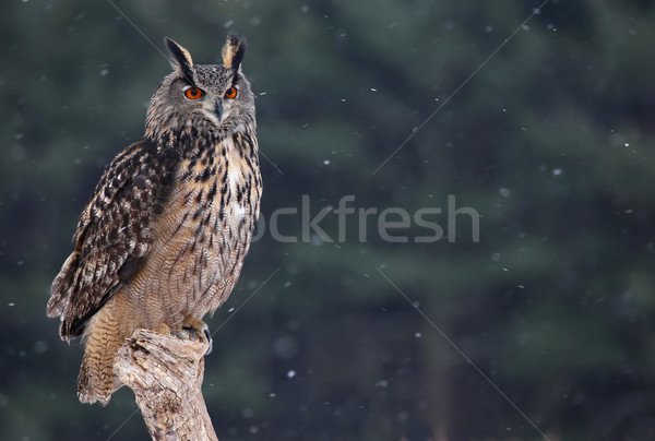 Eurasian Eagle Owl Sitting