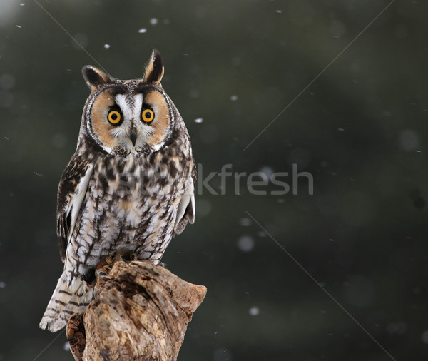 Startled Long-eared Owl Stock photo © ca2hill